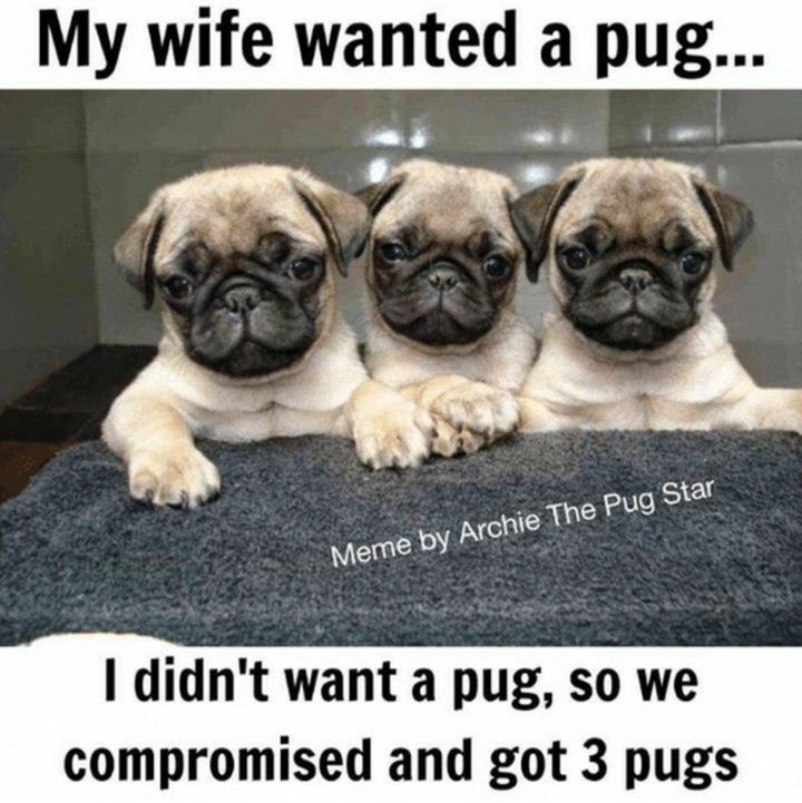 101 Lovable Pug Memes That Are Too Puggin' Cute