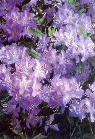 Poisonous plants   Kids Health @ CHW Azaleas and rholodendrons..are poisonous only if eaten in great quantity.