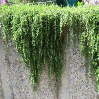 Prostrate Rosemary Is Great For Hanging Baskets Rosemary Plant Coastal Landscaping Coastal Decor