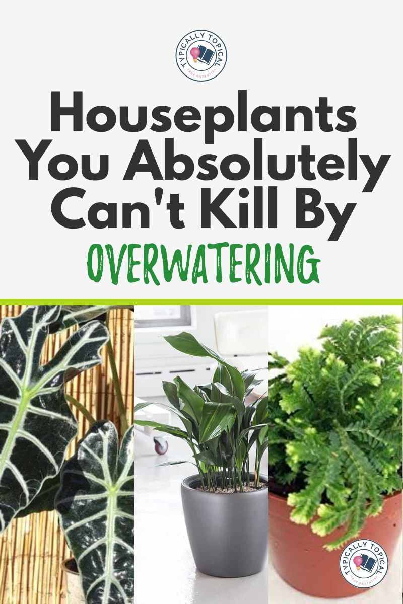 6 Gorgeous Indoor House Plants That Love Water Hard to Kill | Plants that like wet soil | Plant Care