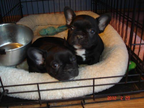 Babies Puppy Friends French Bulldog Puppies Dogs And Puppies