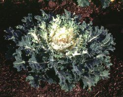 Nc State Floriculture Snow Prince Flowering Kale Snow Images Prince
