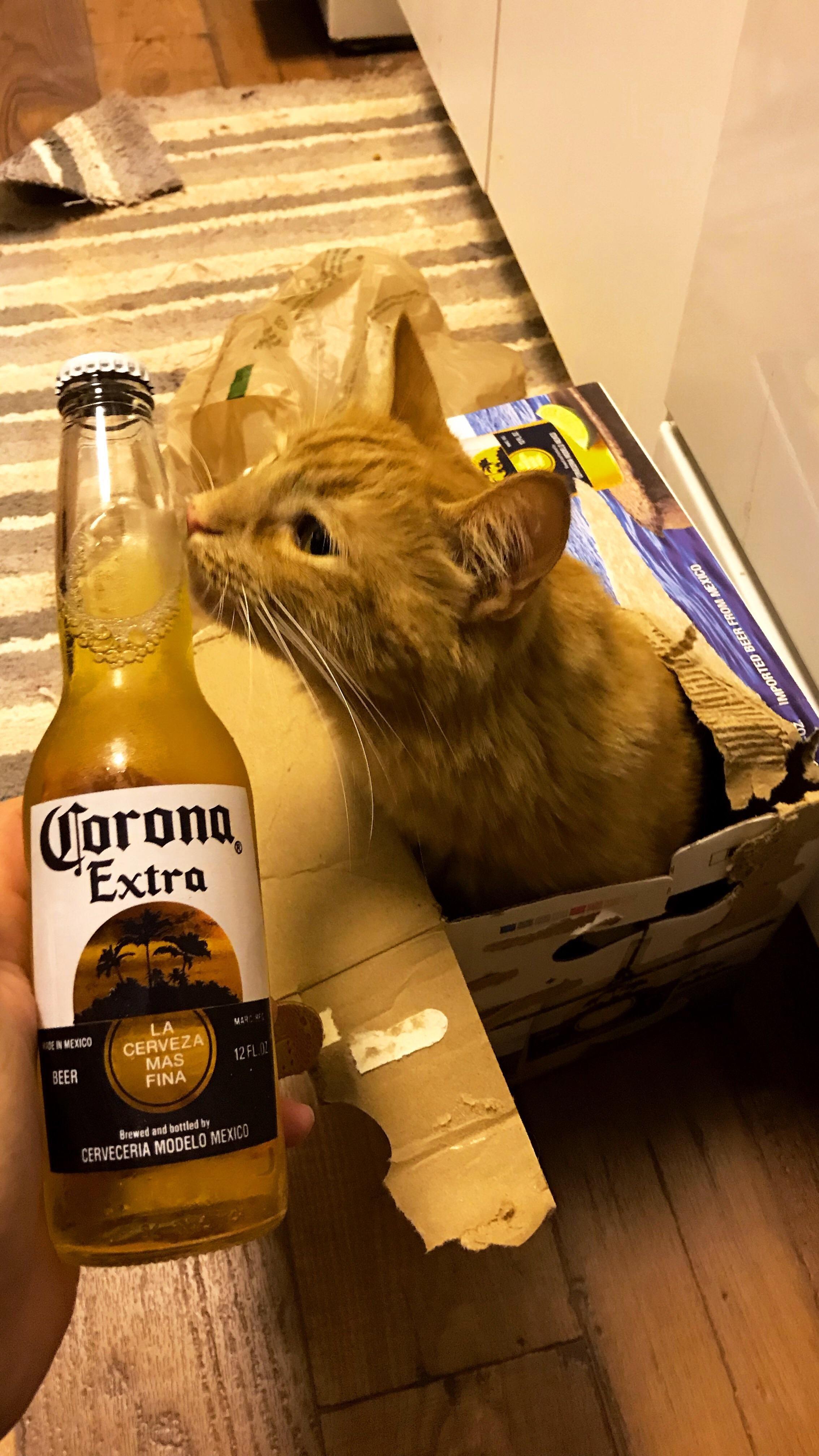 Corona Cat Https Ift Tt 2jcji3x Corona Cats Kittens Cutest
