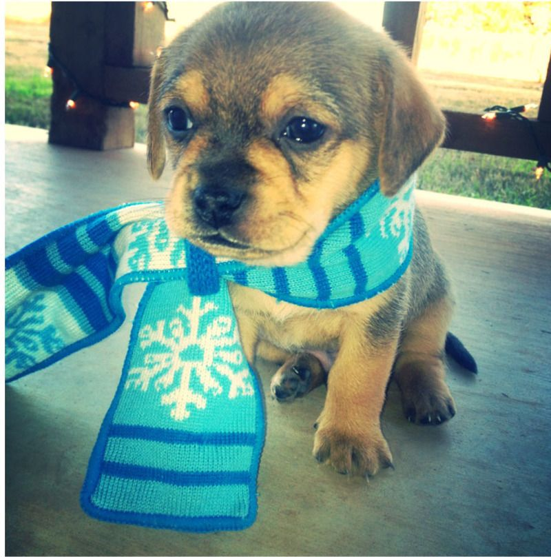 Adopt Cole On Pug Mix Pets Animals