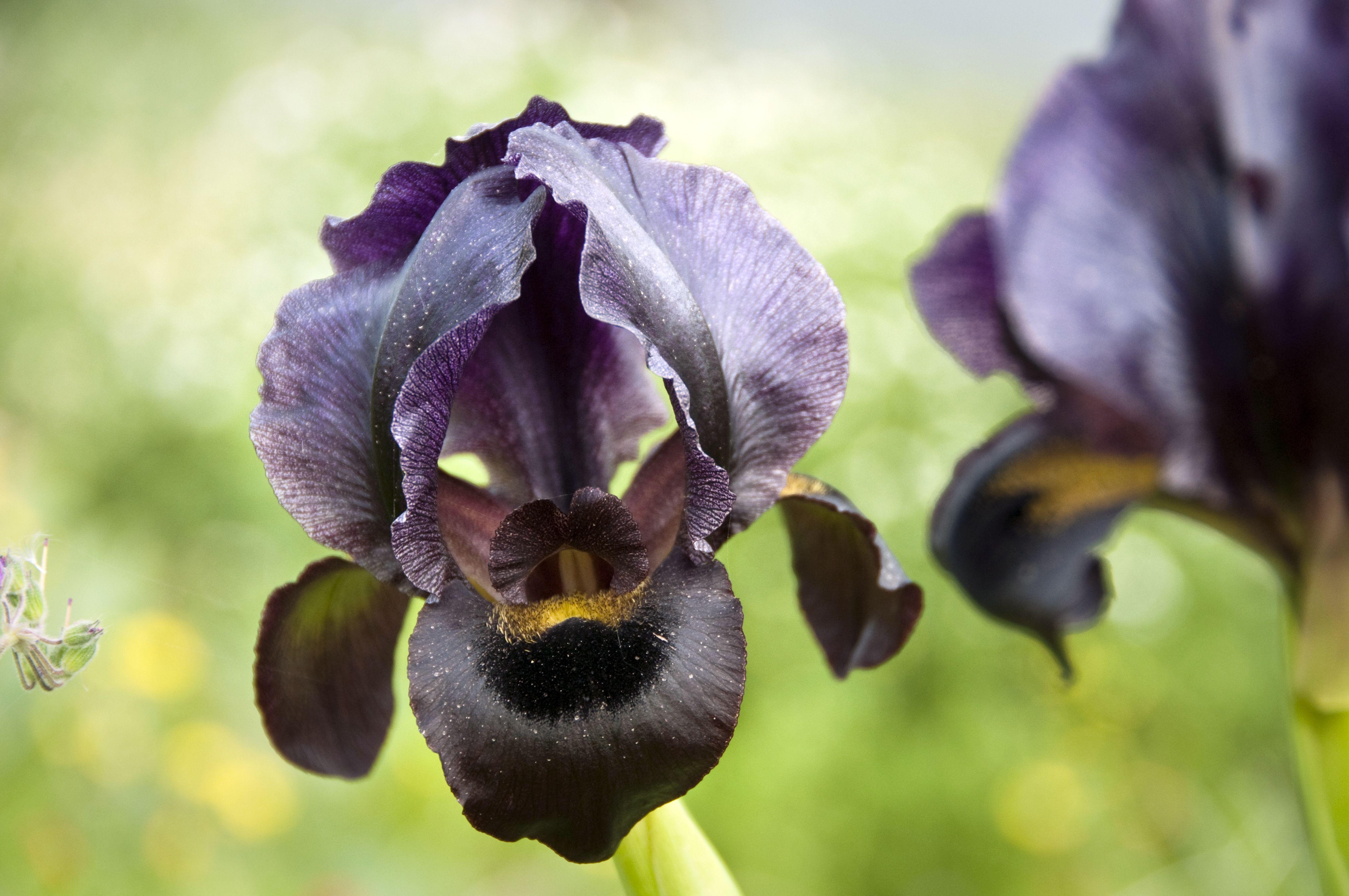 Pin By Debbie Amato On Wedding Chronicles Amman 52 Black Iris Iris Jordans