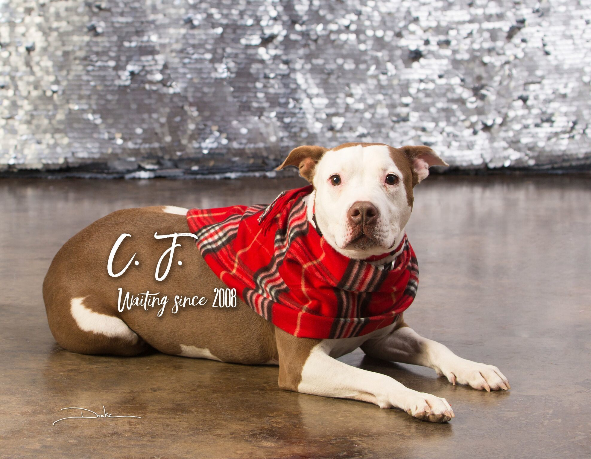 Adopt Calamity Jane on Adoption, Dog list, Pitbull terrier