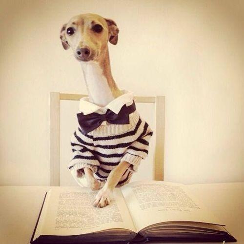 Bowwowtimes greyhound reading a book in an adorable jumper