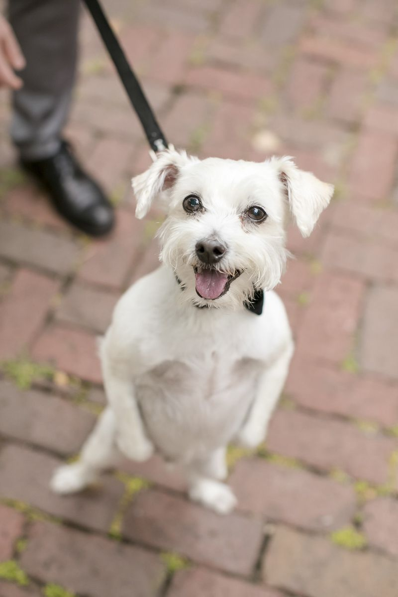 Best Wedding Dog Cooper The Little White Dog Daily Dog Tag Dog Wedding Dogs Cute Funny Dogs