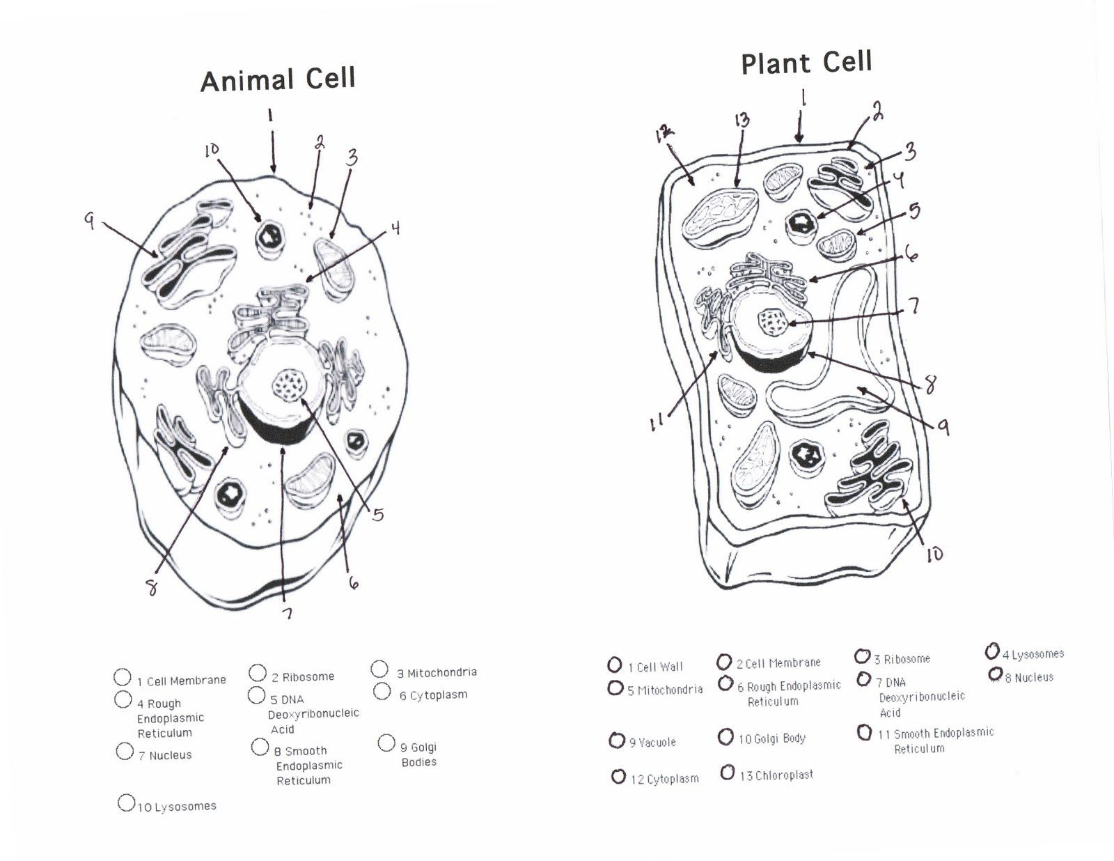 Plant Cell Diagram Worksheet Answers Fresh Parts Plants
