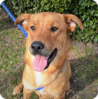 Wilmington Nc Shepherd Unknown Type Mix Meet Lacey A Dog For Adoption Kitten Adoption Dog Adoption Pets