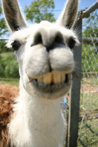 Look At Those Teef Lustiges Lama Alpaka Lustig Lama Bilder