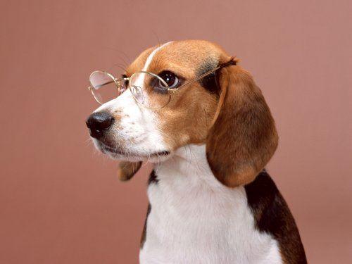 Professor Beagle Dog Wallpaper Beagle Dog Animal Backpacks