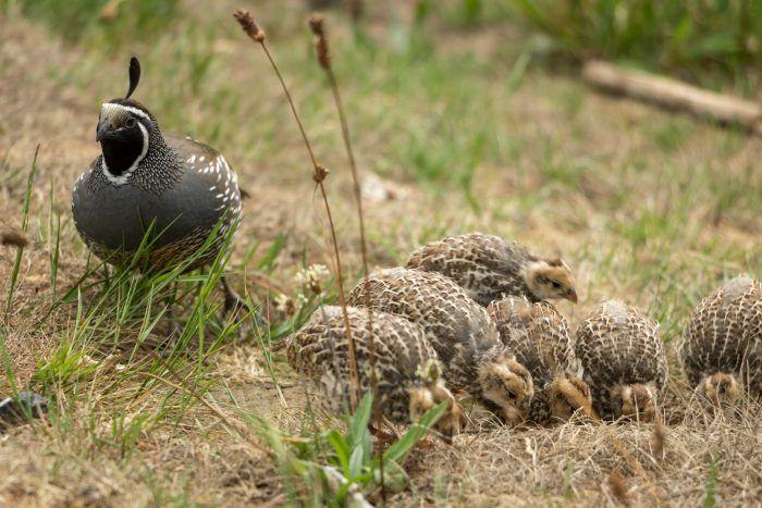 what do coturnix quail eat