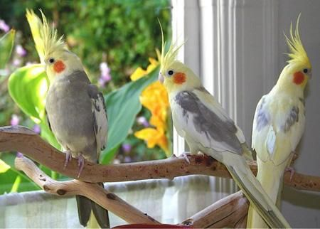 Pin On Exotic Pet Birds