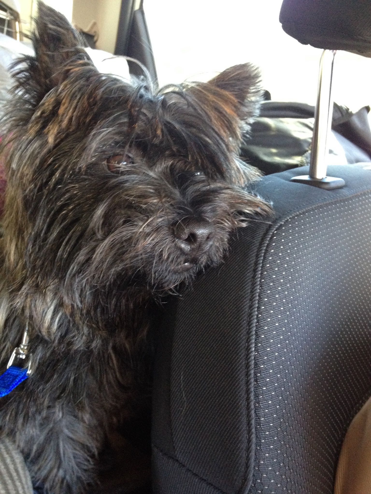 Kipper like Mackie | Cairn Crazy! | Pinterest | Cairn terriers ... | Cairn Terrier Puppies Houston Texas