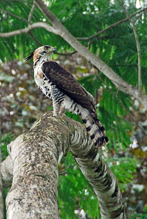 Ornate Hawk Eagle.