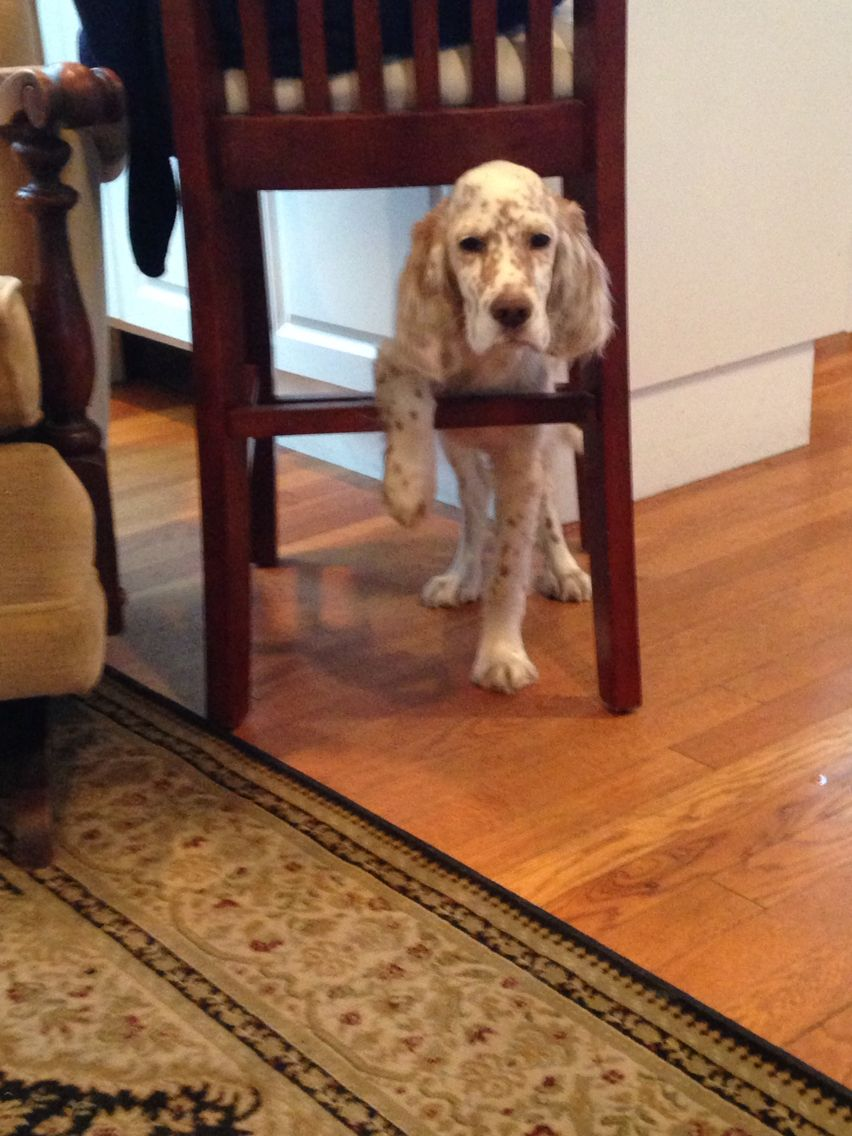 Lucy, our English Setter puppy, stuck!