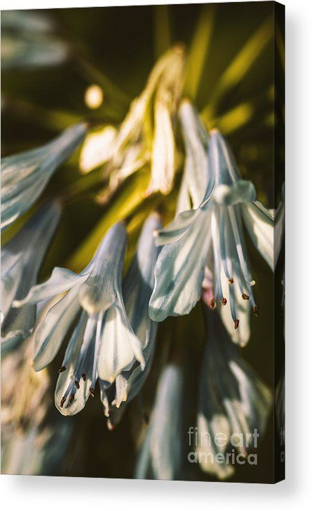 Vintage Agapanthus Flower Acrylic Print By Jorgo Photography Wall Art Gallery Flower Prints Art Photography Wall Art Art Gallery Wall