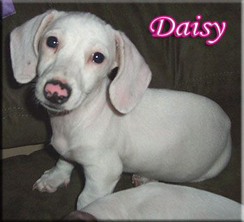 This Is An All White Dachshund So Cute Wiener Dog Dachshund