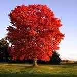 Red Sunset Maple Tree#maple #red #sunset #tree#maple #red #sunset #tree #treemaple
