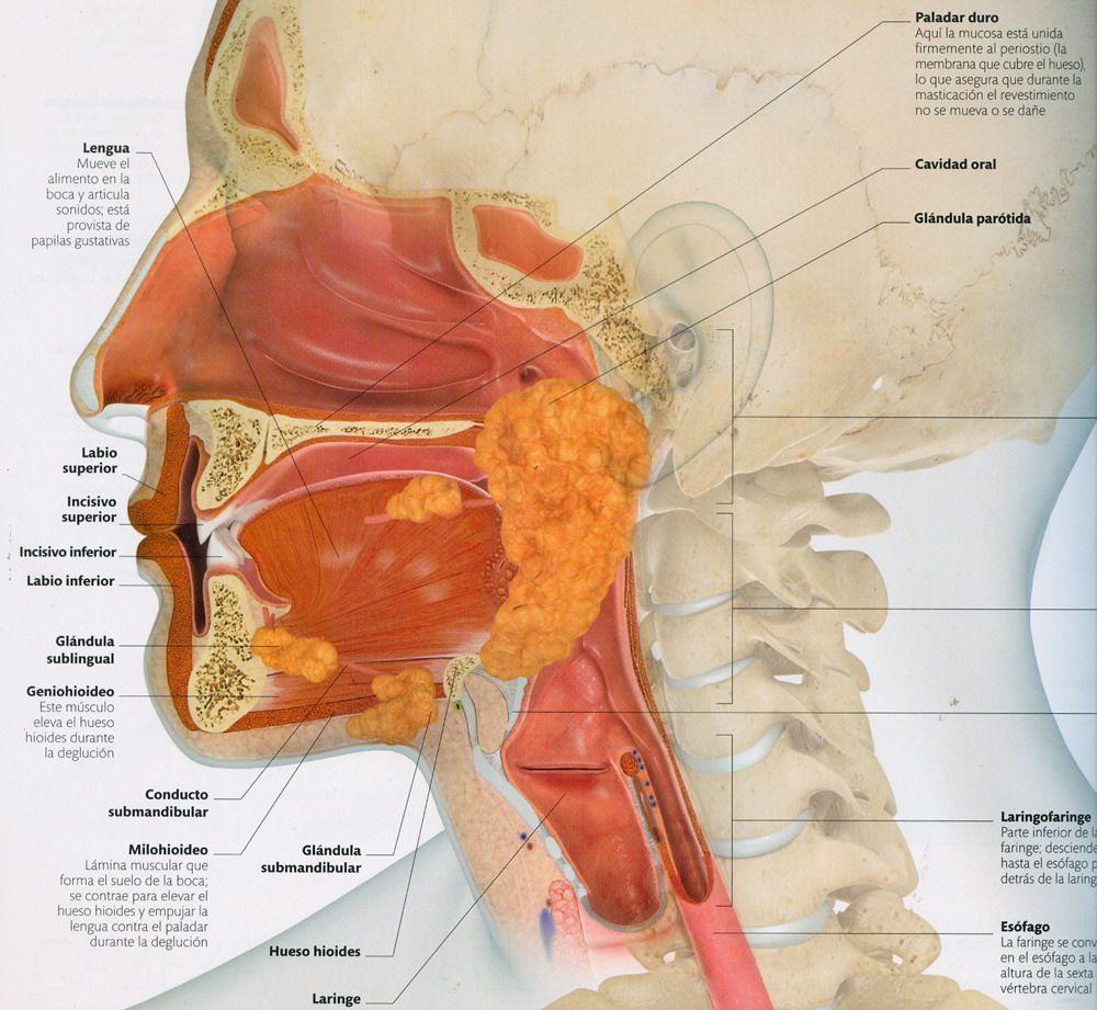Perfecto Anatomía Conducto Submandibular Inspiración - Anatomía de ...
