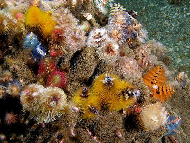 Christmas Tree Worms Beautiful Sea Creatures Beautiful Creatures Underwater Animals