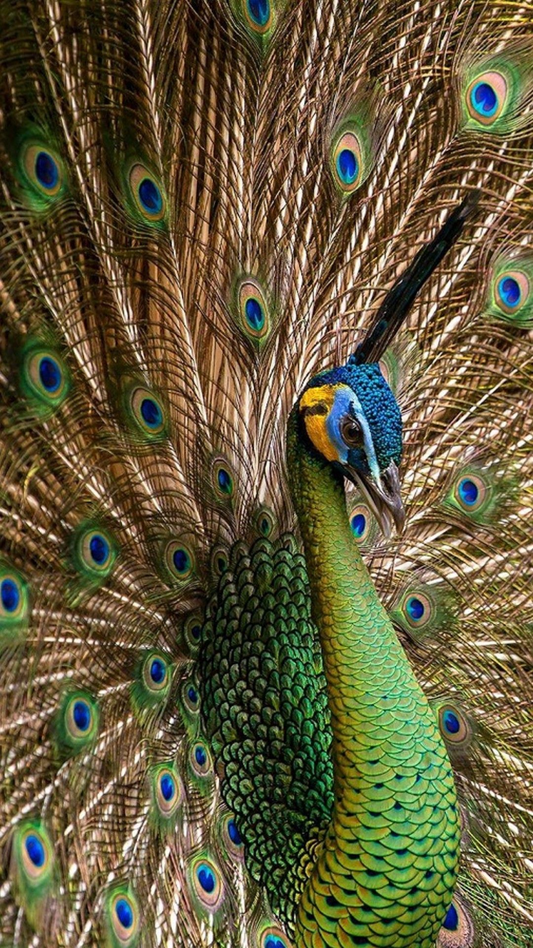 Peacock Wallpaper For Iphone In 2020 Peacock Wallpaper Peacock Images Peacock Pictures