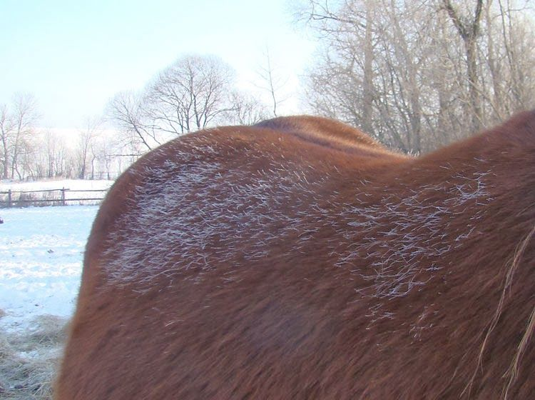 An  article on why horses should not be blanketed in winter   http://www.academialiberti.de/en/articles/read/22/Thermoregulation-in-horses-in-a-cold-time-of-year/