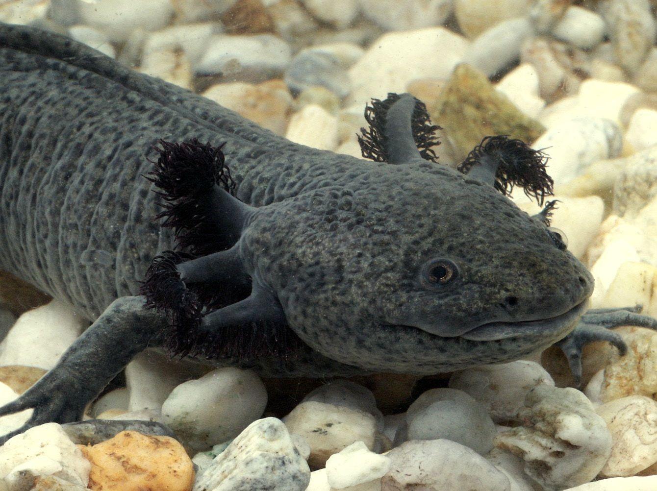 9 best Axolotl tank ideas images on Pinterest Aquarium ideas