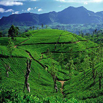 Plantaciones del té en las colinas de  Sri Lanka