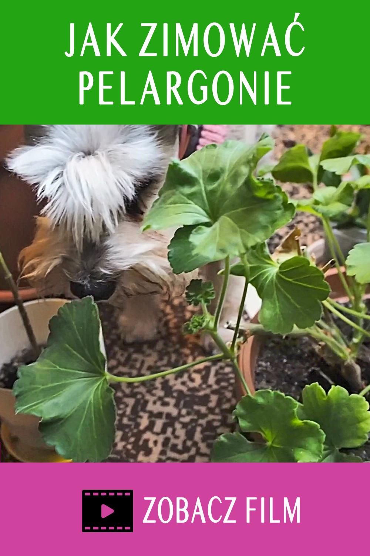 Zimowanie Pelargonii Juz Nigdy Nie Bedzie Problemem Plants Garden Flowers