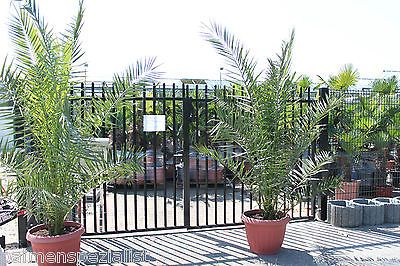 Wohnzimmer Palme ~ Xxl echte canarische dattelpalme cm phoenix canariensis palme