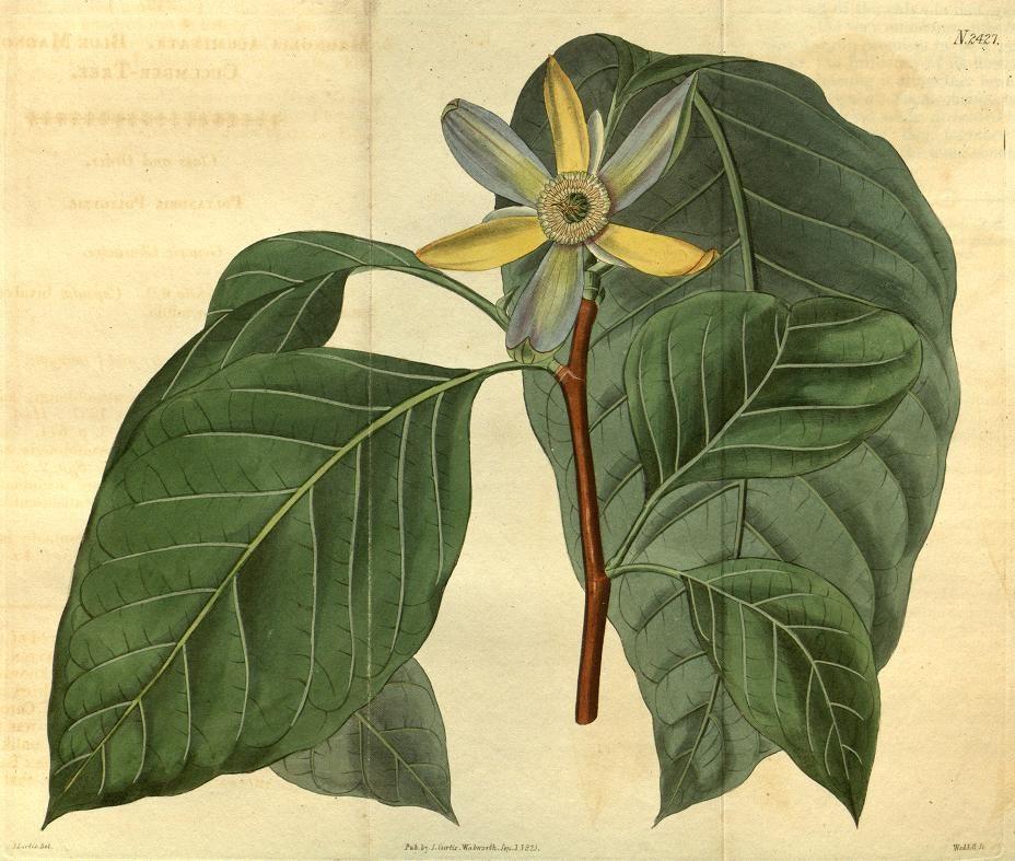 v.50 (1822-1823) - Curtis's botanical magazine. - Biodiversity Heritage Library 930 x 790