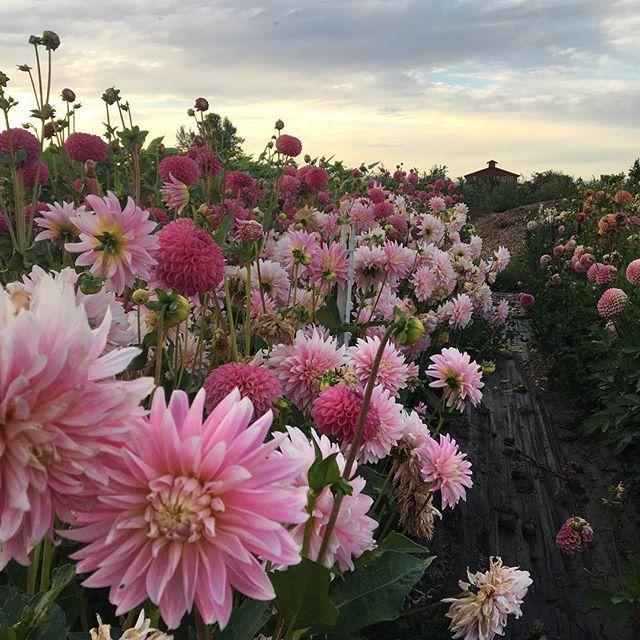 All Of These Dahlias Swaying In The Breeze Look Like Pink Crashing Waves Growfloret Dsfloral Farmerflorist Flo Dahlia Flower Flower Aesthetic Garden Bulbs