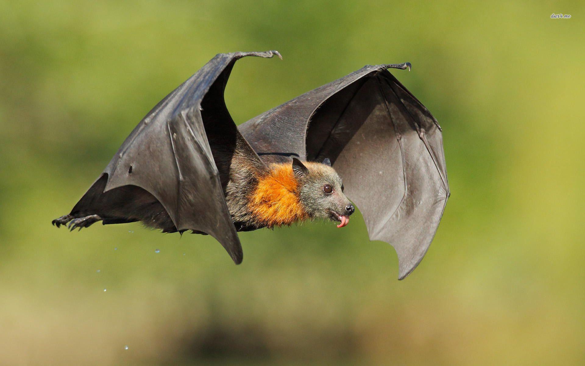 Cute Bat Hd Wallpaper Cute Bat Amazing Animal Pictures Animals
