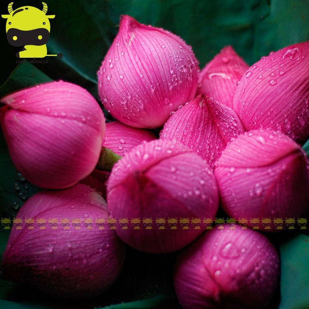 Japanese Red Lantern Lotus Flower Seed 1 Seedpack Perennial