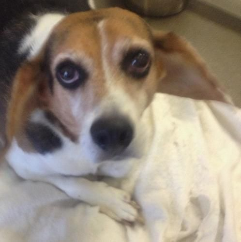 Adopt Jerome On Beagle Dog Adoptable Beagle Pets