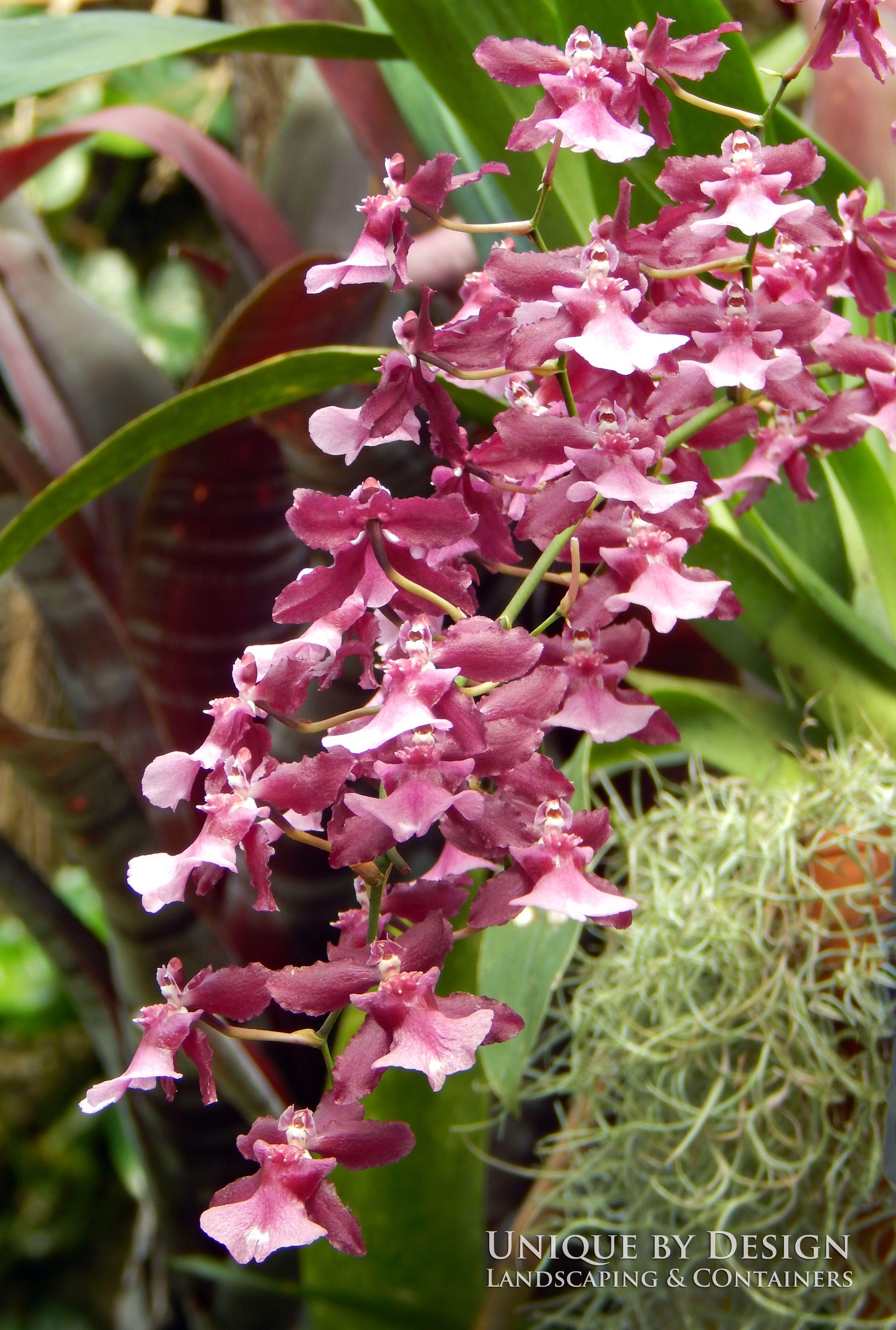 Dancing Lady Orchid Orquidea, Produtos de jardim