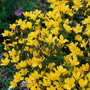 Best plants for trough gardens deck pinterest yellow flowers yellow flax yellow flax also known as golden flax bears upward facing yellow flowers on deep green foliage throughout the summer mightylinksfo