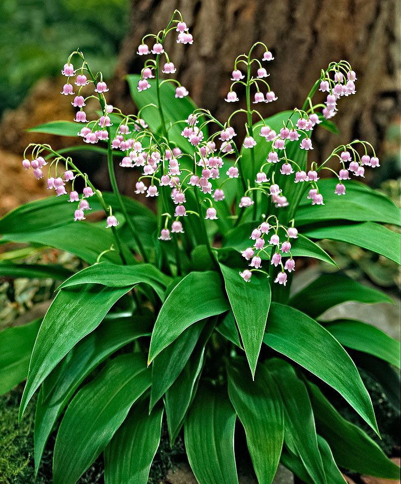Convallaria Majalis Rosea Lily Of The Valley Bloom Time April May Lily Of The Valley Flowers Valley Flowers Lily Of The Valley