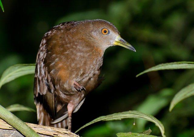 Foto saracura-lisa (Amaurolimnas concolor) por Marcos Eugênio | Wiki Aves - A Enciclopédia das Aves do Brasil