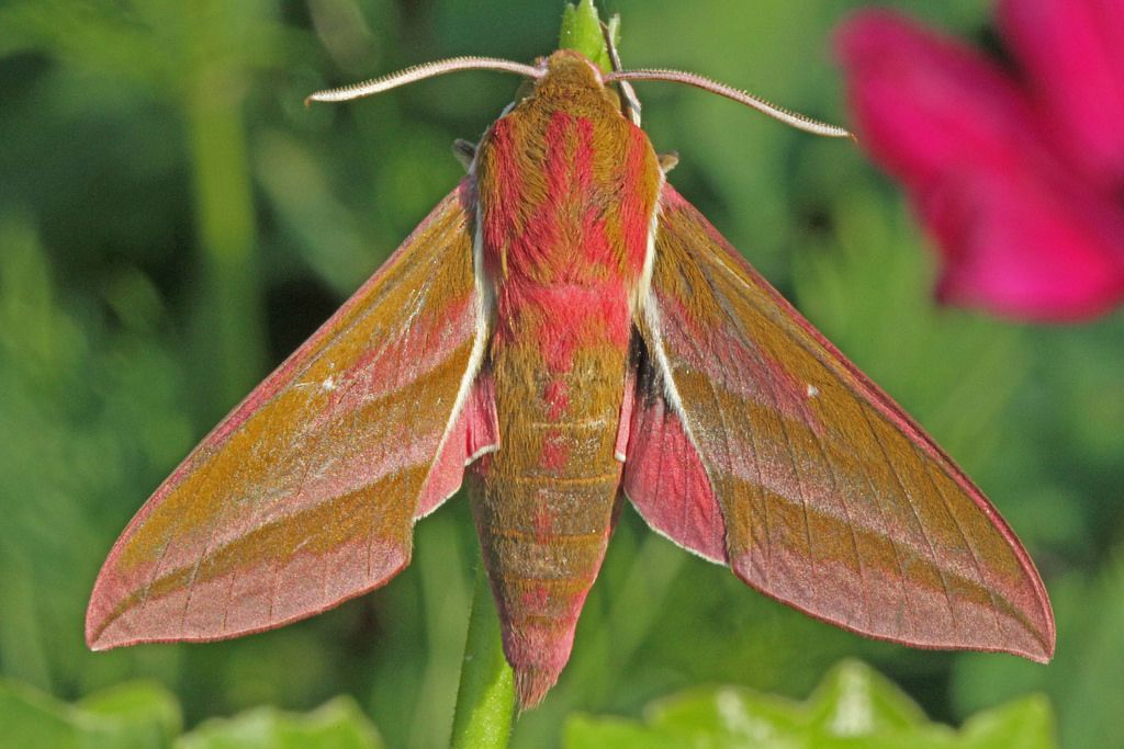 Moth elephant hawk Siblands