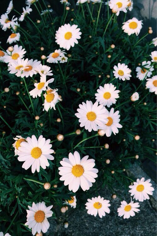 pretty daisy wallpaper Daisy wallpaper, Tumblr iphone