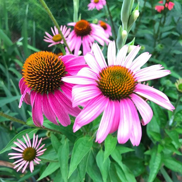 Each Coneflower Projects A Different Personality But All These Blooms Are From The Same Plant Rva Rvagarden Lewis Ginter Botanical Garden Leaf Images Garden