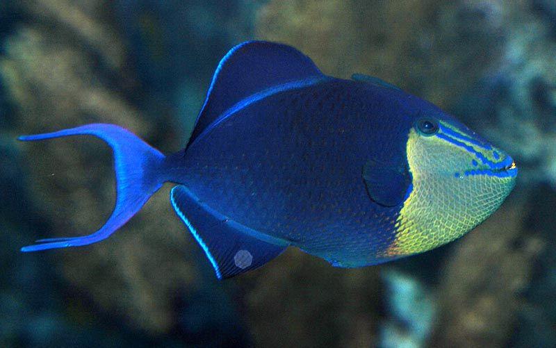 Redtoothed Triggerfish Or Niger Trigger Odonus Niger