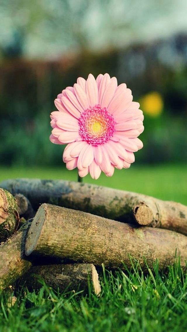 Pink Sunflower. Collection of Flower iPhone Wallpapers ...