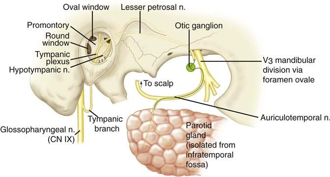 Parotid gland Post gang fibers: otic ganglion Conveyed by ...