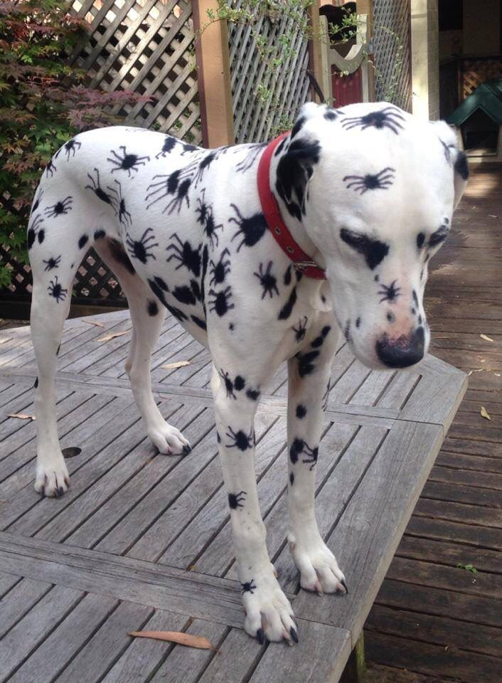 Wondering what your dog should be for Halloween this year? Get inspiration from some of the best costumes of all time. & Rate The Best Dog Halloween Costumes Of All Time | Spider costume ...