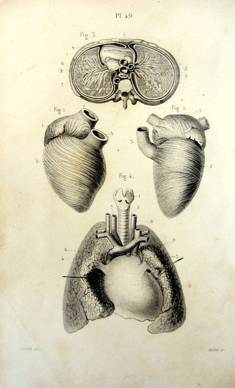 1852 Antique Anatomy Print Vintage Heart By Lyranebulaprints 2400