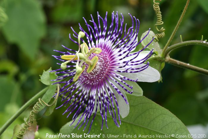 Pin By Michelle H On Passiflora M N Passion Flower Vines Plants